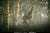 Jirafa en el Bosque